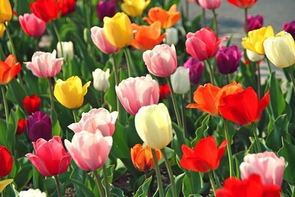 Всё о разновидностях тюльпанов — классы, группы и сорта