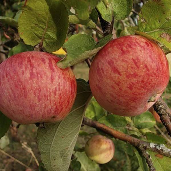 Сорт яблок россошанское полосатое