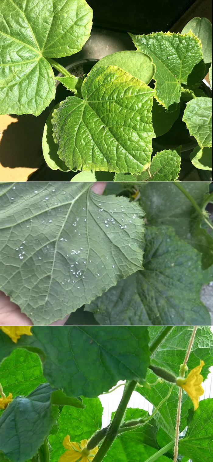 Желтеют листья огурцов: основные причины, методы борьбы и советы экспертов что делать для сохранения урожая (105 фото)