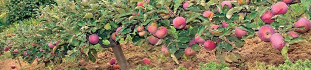 Порадует регулярной урожайностью сорт яблонь ковровый