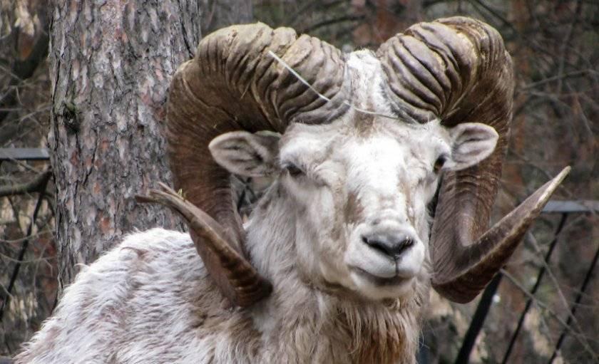 Горный азиатский муфлон — красивый баран с закрученными рогами