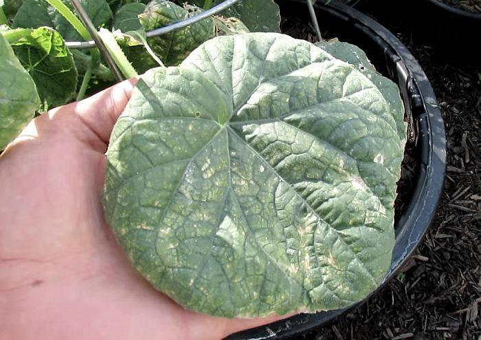 Почему скручиваются листья у огурцов: причины, как лечить