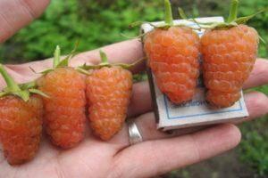 Как правильно и когда собирать малину, быстрые способы и нужно ли мыть ягоды