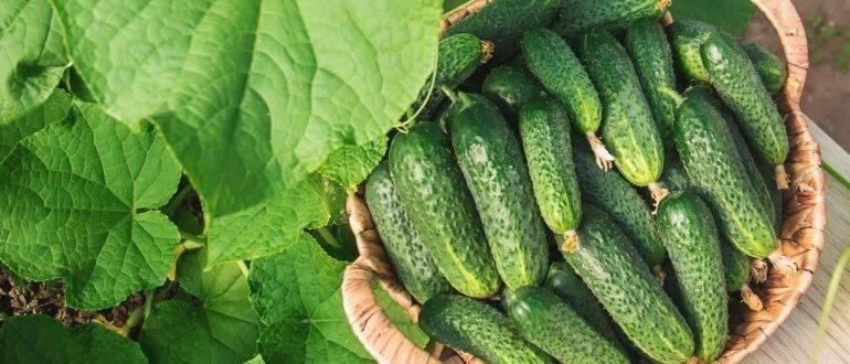 Описание огурцов салинас f1, выращивание и уход за гибридом