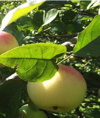 Полукультурная яблоня алтайский феникс: описание, фото, отзывы