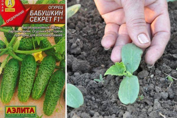 Отечественный гибрид огурцов «дедушкина внучка f1»: фото, видео, описание, посадка, характеристика, урожайность, отзывы