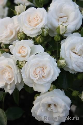 Описание и характеристики разновидностей сортов роз лидия, посадка и уход