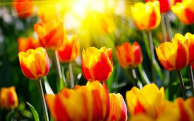 Махровые тюльпаны: описание ранних и поздних сортов, посадка и уход с фото
