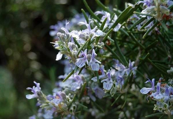 Как выращивать и ухаживать за розмарином в домашних условиях из семян