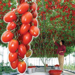 Уникальное томатное дерево: фото, особенности выращивания