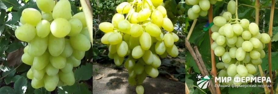 Описание и характеристика винограда ландыш
