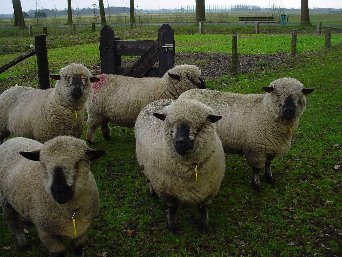 Виды и чертежи загонов для овец, как сделать своими руками в домашних условиях