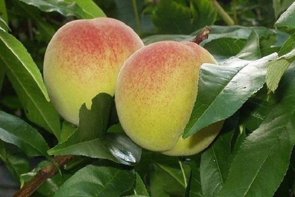 Сорта персиков: описание внешнего вида и советы по выращиванию в домашних условиях. 135 фото с названием