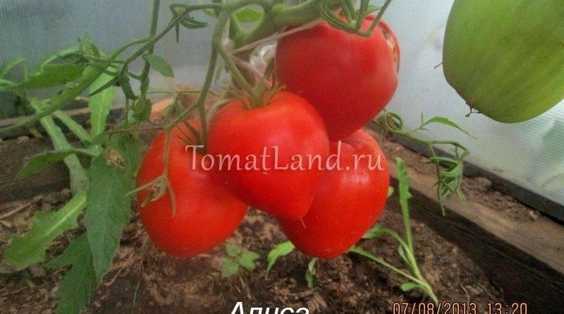 Томат валентина — описание сорта, фото, урожайность и отзывы садоводов