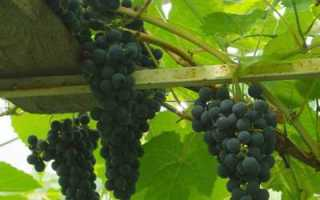 Виноград цитронный магарача – для вкусных столовых и десертных вин