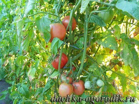 Сорт томата «малиновый звон»: фото, видео, отзывы, описание, характеристика, урожайность