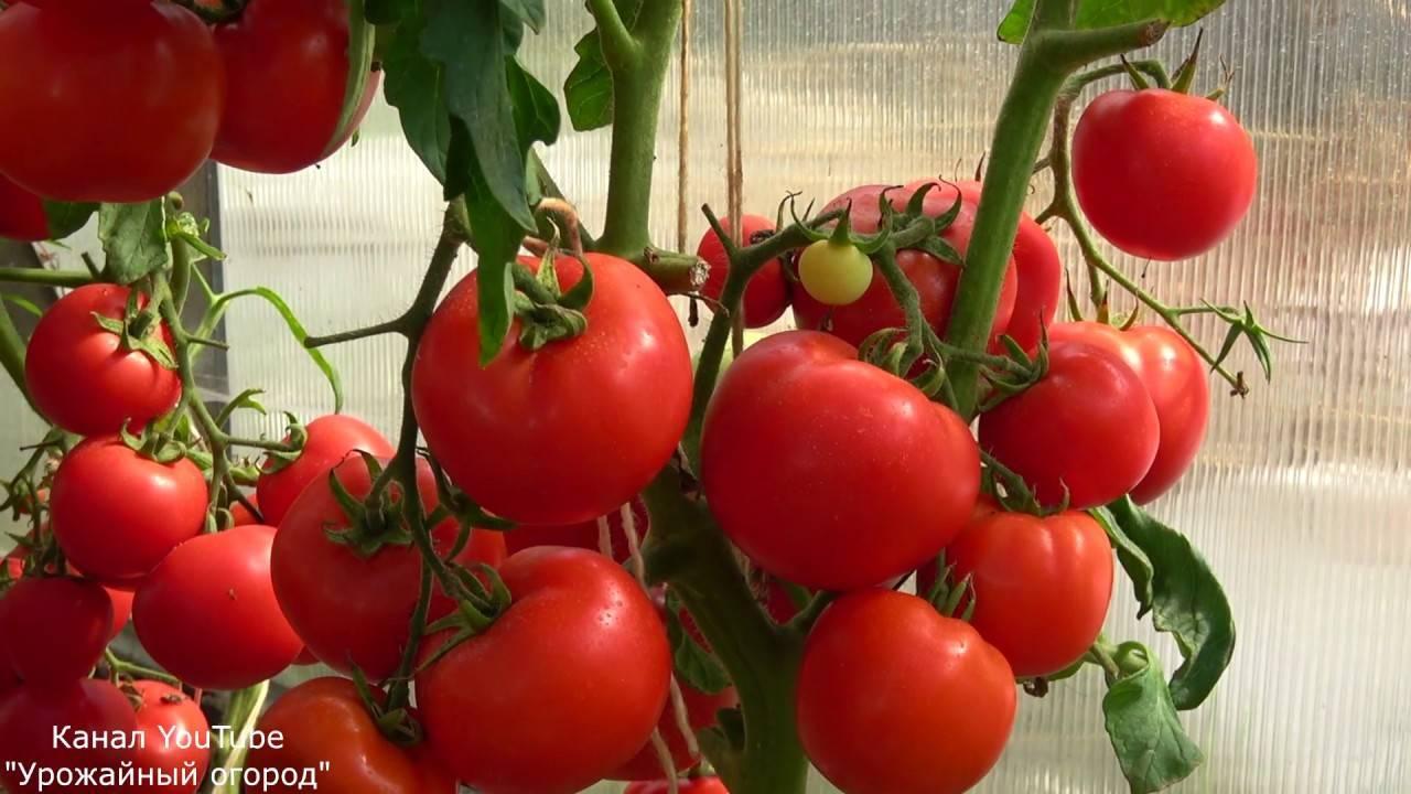 Описание сорта томата ядвига, его характеристика и выращивание