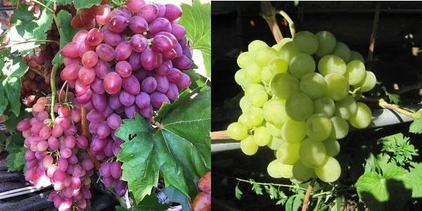 Выращивание и уход за виноградом ландыш