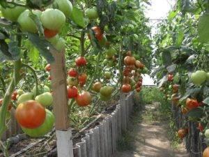 Голландский томат «биг биф f1»: что думают о голландском гибриде дачники и советы по выращиванию