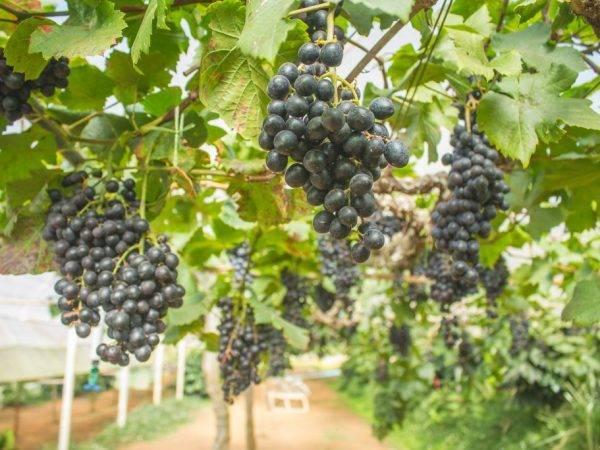 Описание и тонкости выращивания винограда сорта маникюр фингер