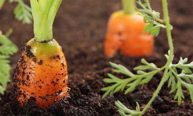 Как быстро прополоть морковь обработка керосином от сорняков можно ли
