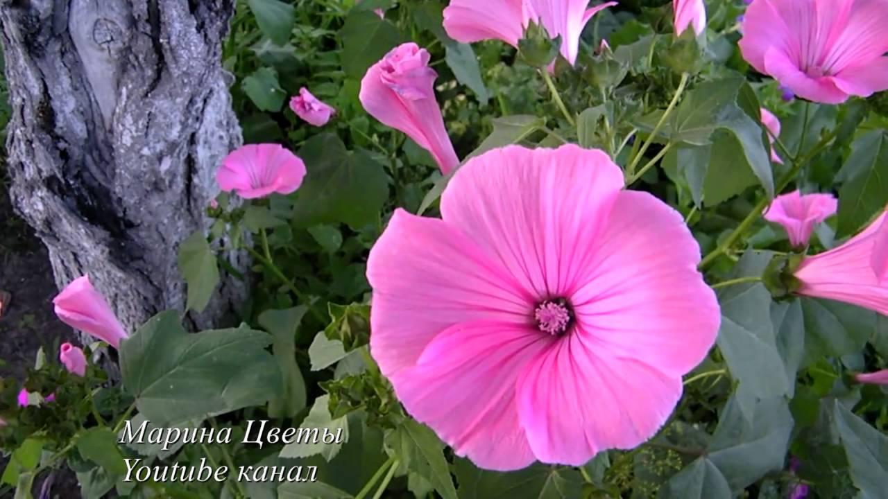 Лаватера многолетняя — белые и розовые цветы в саду