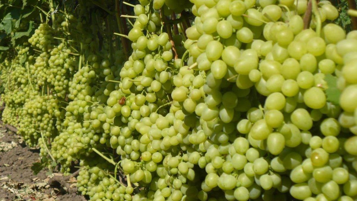 Виноград тимур: белая культура, дающая 10 кг ягод с куста