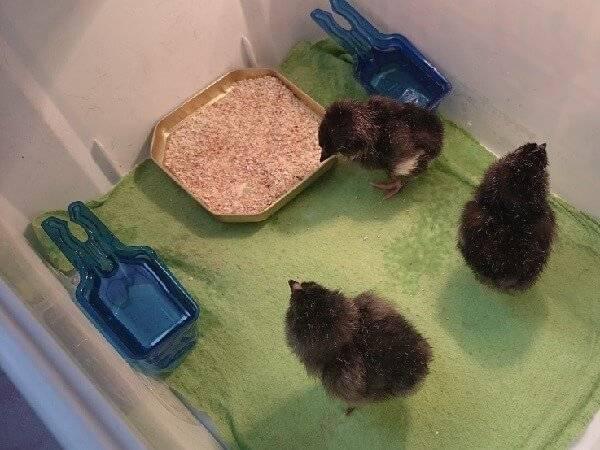 Выбираем брудер для цыплят и делаем его своими руками