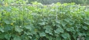 Марганцовка как удобрение в огороде: что можно поливать перманганатом калия