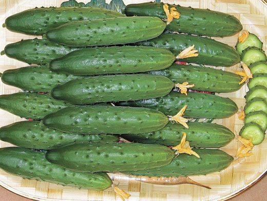 Обзор сорта огурцов «мамлюк» для салатов и вкусных заготовок на зиму