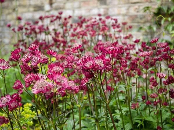 Выращивание многолетних садовых цветов астранция (звездовка)