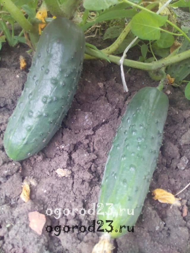 Список лучших сортов огурцов для открытого грунта: особенности выращивания и ухода