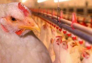 Какая порода мясо яичных кур лучше для производства