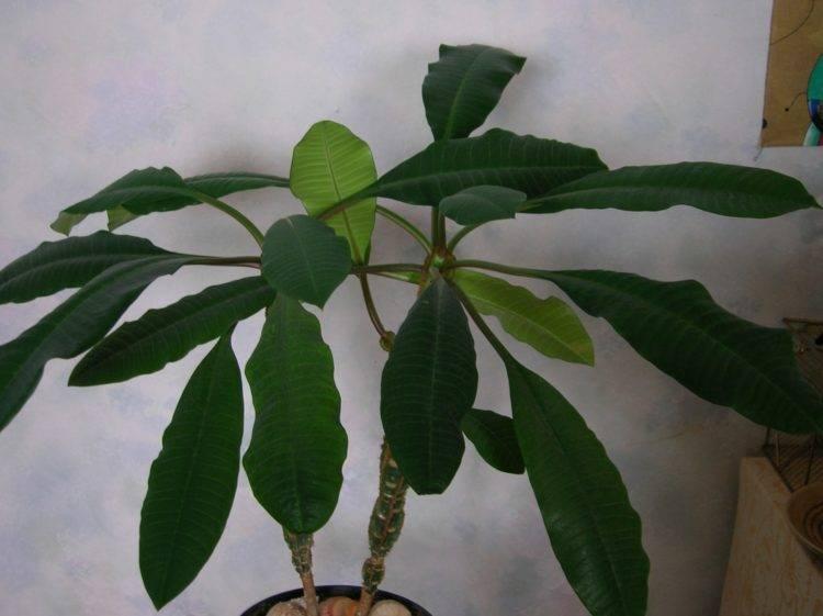 Комнатное ядовитое растение молочай и его лечебные свойства