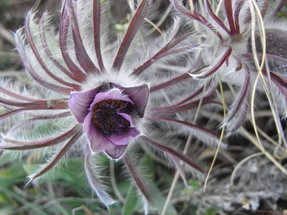 Польза ивред корня цикория— полезные свойства, способы применения