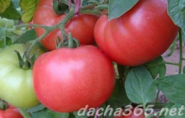 Демидов — томат для ленивых